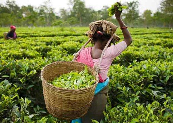 Zelený a červený čaj – Co jsou zač a proč je pít?